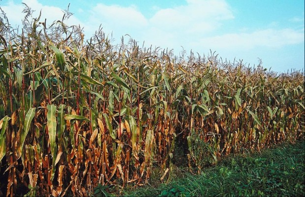 Storms Hit Some Illinois Cornfields Hard