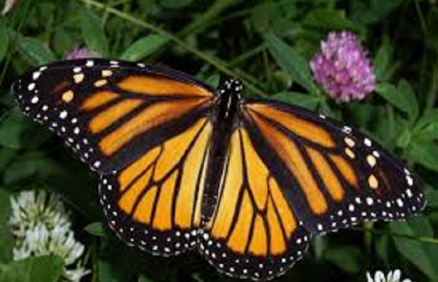 Monarch Butterfly Population Is Shrinking