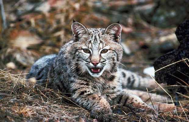 Bobcat Season Is Coming