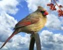 Northern Cardinal (female) , sitting on a stick